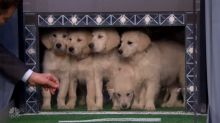 Adorable puppies predict Super Bowl winner on 'The Tonight Show'