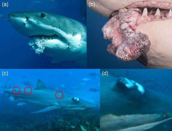 Images (a) and (b) show the tumor on the great white shark, while (c) and (d) show tumors on the bronze whaler shark.