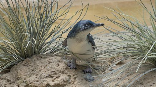 Bronx Zoo breeds 1st little penguin in its 120-year history
