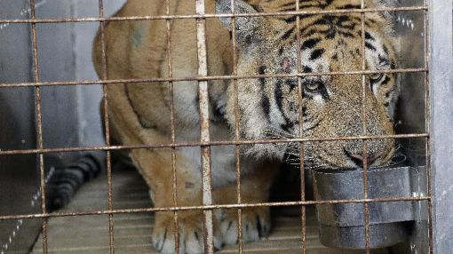 Tiger taken from 'world's worst zoo' arrives in South Africa