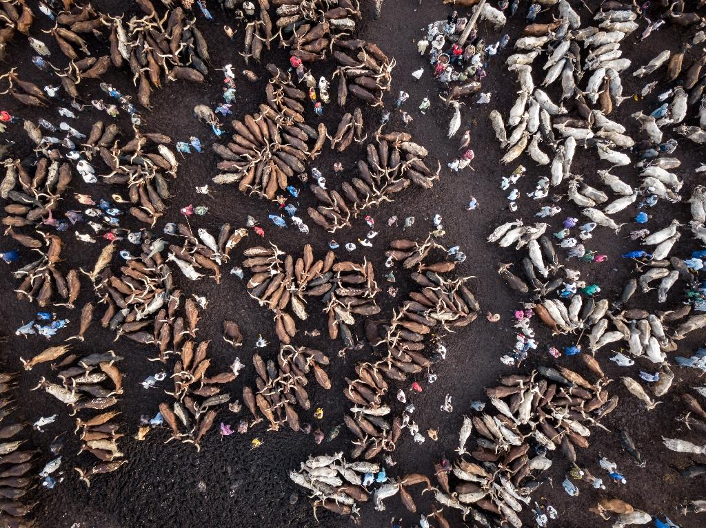 Terminus: Thousands of cattle are trucked to Agege market in Lagos each week to meet spiralling demand for beef (AFP Photo/Florian PLAUCHEUR)