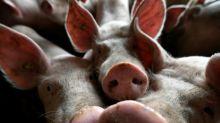 Amtlicher Verdachtsfall der Afrikanischen Schweinepest in Deutschland
