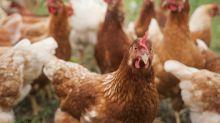 Sconfiggere l'influenza con i polli geneticamente modificati