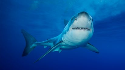 Great white shark found cut into pieces