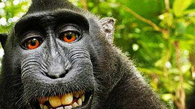 Monkey in the Middle of Copyright Battle
