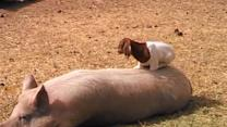 Baby Goat Plays on Pig