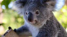 Voici Ash, le premier koala né dans un parc naturel depuis les incendies australiens