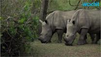 South African Veterinarians Treat Wounded Rhino Hurt by Poachers