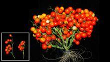 Este es el aspecto que tendrán los tomates del futuro