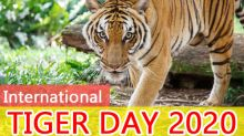 International Tiger Day 2020: Some Lesser Known And Interesting Facts About Tigers