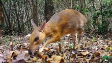 Feared Extinct, Adorable Miniature Deer Species Rediscovered