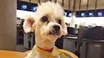 Pet of the Week: Bichon Frise mix named Curtis