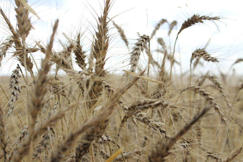 Just when Australia needs it, wheat farmers start bumper harvest