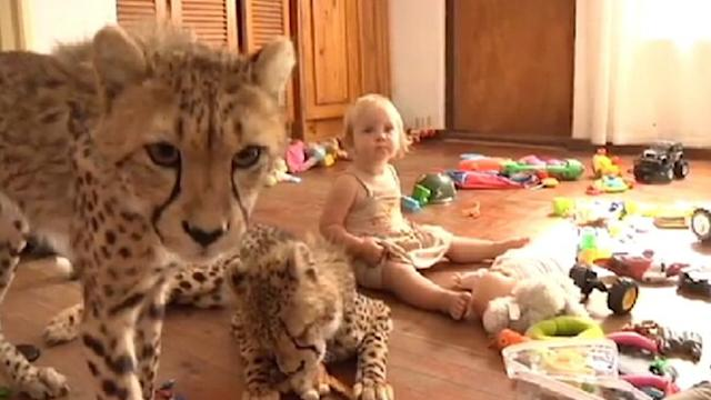 Pet Cheetahs Live With Toddlers