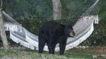 Black Bear Relaxes In Backyard Hammock