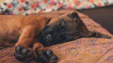 """""""Höhle der Löwen"""": Das Entspannungssystem """"RelaxoDog"""" für Hunde im Yahoo-Test"""