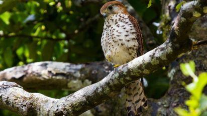 Erfolge im Artenschutz: Comeback des Mauritiusfalken