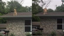 Golden retriever enjoys spending time on owner's roof