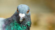 Belgio, asta record: piccione viaggiatore venduto a 1,6 milioni di euro