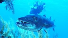 Giant barracuda poses for video and then flashes teeth