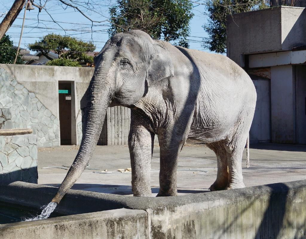 """Hanako, which means """"Flower Child"""" in Japanese, became something of a cause celebre last year following an international campaign to improve the ageing pachyderm's cramped living conditions (AFP Photo/)"""