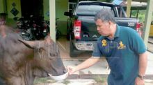 No ordinary cow: 'Tam' loves roti canai, terrified of a cat