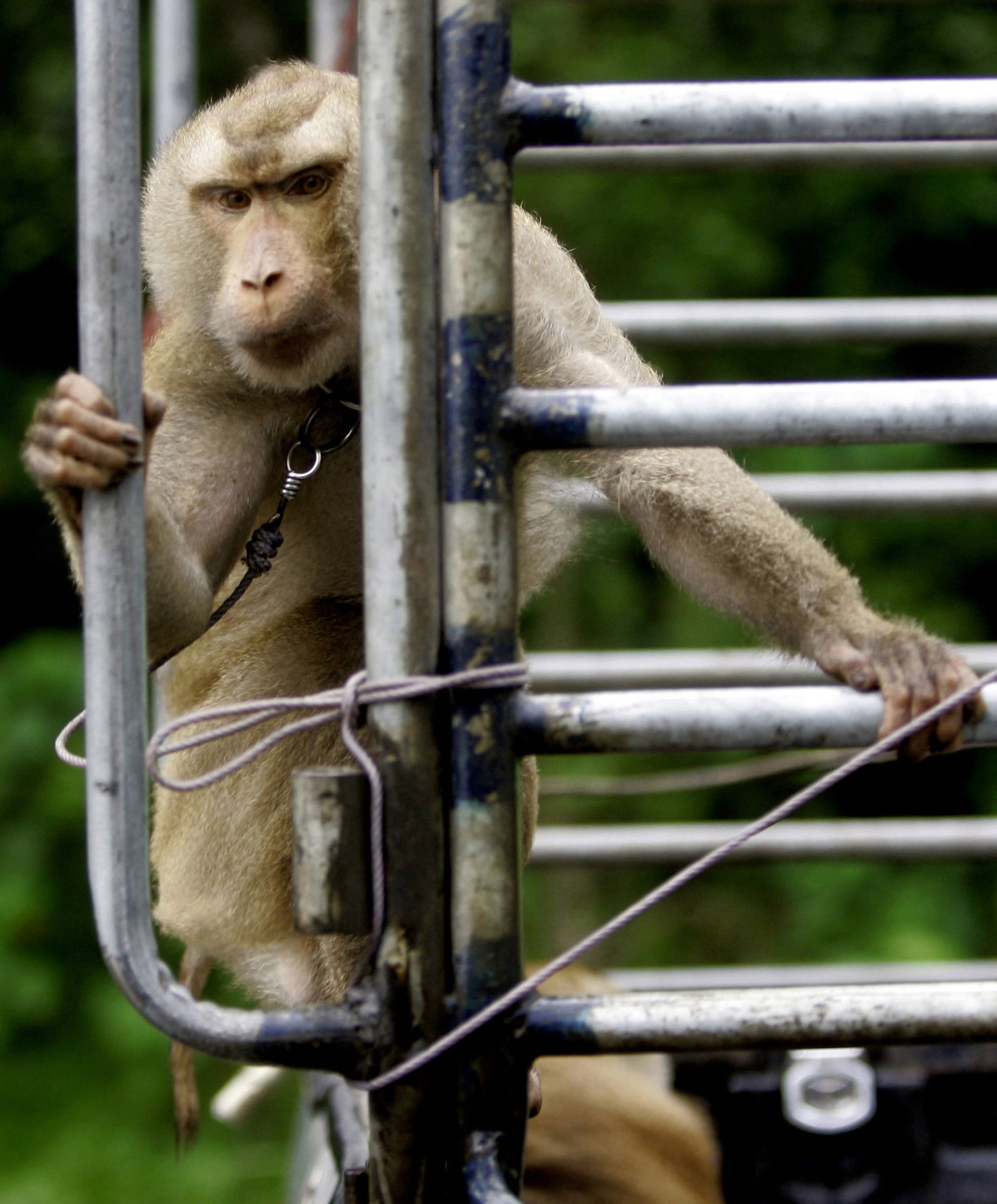 FILE - In this Friday, Nov. 3, 2006. file photo, a working monkey rides on the back of a pickup truck while heading to a coconut plantation in Chumphon province, southern Thailand. Thailand's coconut-picking monkeys, long a popular tourist attraction, have become a sensitive trade issue as British activists claim the animals are abused and push for a boycott of the nation's coconut products. (AP Photo/Apichart Weerawong)