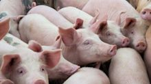 How global farmers 'will benefit' from the swine fever hitting China