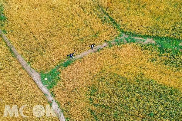 大雅小麥文化節打造全台唯一「大雅黃金麥浪」特色 (圖片提供/sunny__roger)