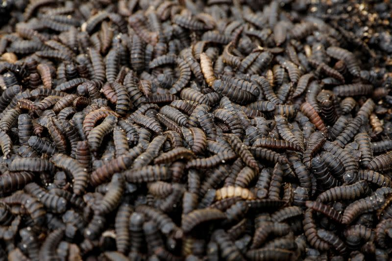 Kenya harnesses fly larvae's appetite to process food waste