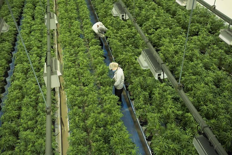 Canopy becomes first pot stock to join S&P/TSX 60 index, replacing Goldcorp