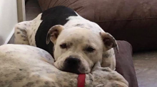 Australian council rules Staffy that killed another dog will not be put down following public outcry