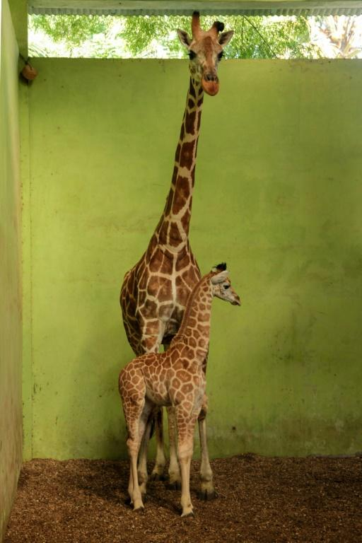 Bali Safari Park has been closed to visitors since late March (AFP Photo/Handout)