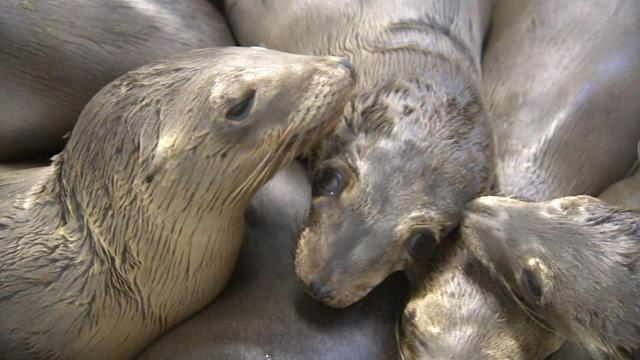 Record number of sick sea lions washing ashore Southern California beaches