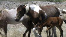 Buscan frenar proyecto de capturar caballos salvajes en EEUU