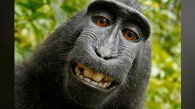Le singe perd la face