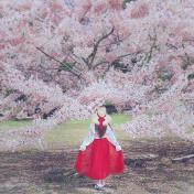 秒飛日本櫻花美景!爆炸盛開花旗木粉色花海