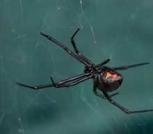 How the Heck Did Black Widow Spider DNA Get Inside a Virus?