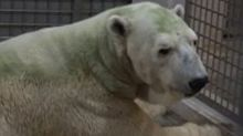 Singapore's Last Polar Bear Dies at Wildlife Reserves Zoo