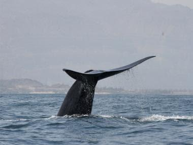 Whale pod breaks migration pattern, scientists believe it's an effect of climate change