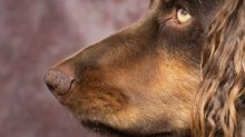 Winning by a nose: the dogs being trained to detect signs of Covid-19