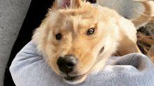 Ein-Ohr-Hund: Kleiner Golden Retriever sieht aus wie ein Einhorn