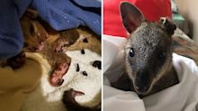 Heartbreaking photos of animals' bushfire injuries – and how you can help