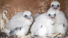 Falcon watch: Peregrine activity around PPL's tower building provides optimism for another successful nesting season