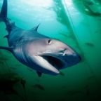 Diver swims five miles to shore to escape shark stalking him