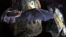"""El gen que los murciélagos """"le robaron"""" al ébola puede ayudar a entender la enfermedad"""