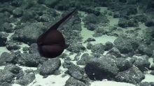 "Rare footage of a ""shape-shifting"" gulper eel stretching its jaws"