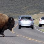 Bison seriously injures hiker in Yellowstone National Park
