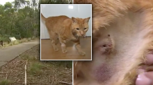 Cat survives being bitten by a tiger snake for the third time