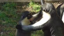 Rare monkey youngster playfully annoys mother